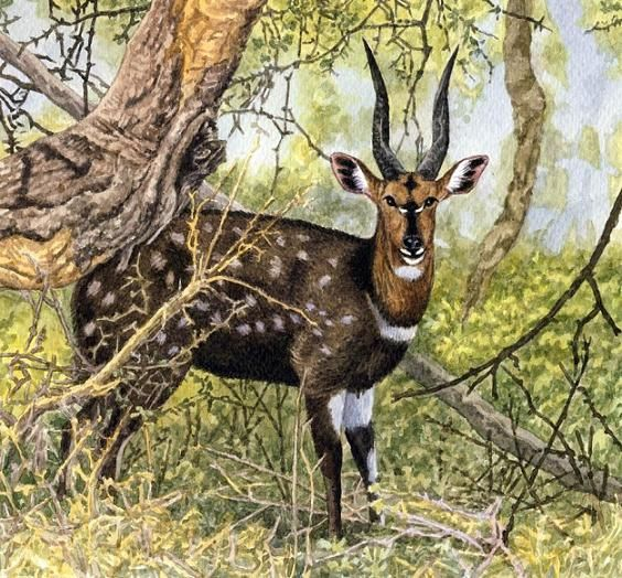 Bushbuck by Willem