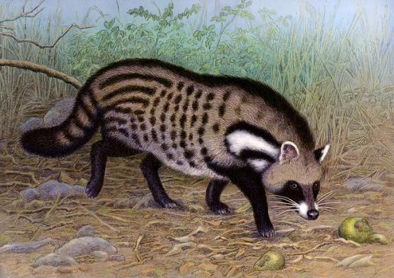African civet by Willem
