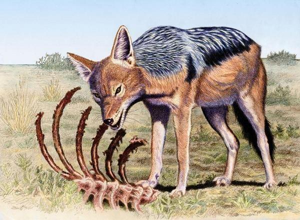 Black-baked jackal by Willem