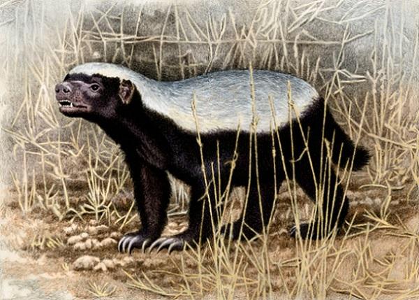 Honey Badger by Willem