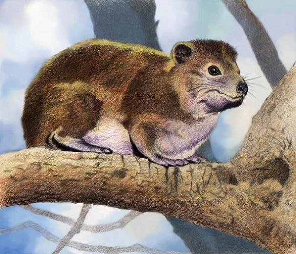 Tree Hyrax by Willem.