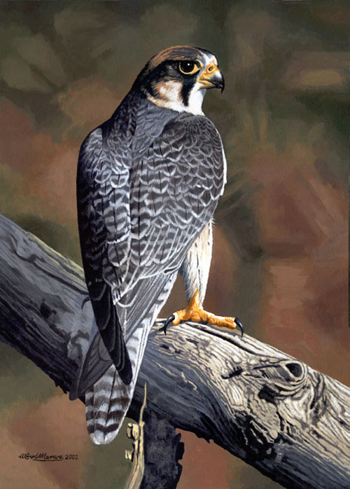 A falcon perched on a branch, gazing over its shoulder.