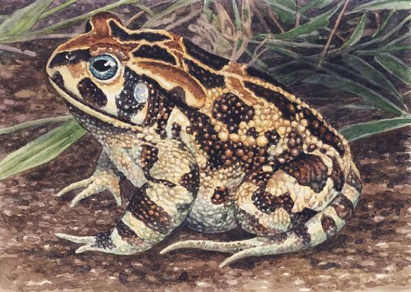 Western Leopard Toad by Willem