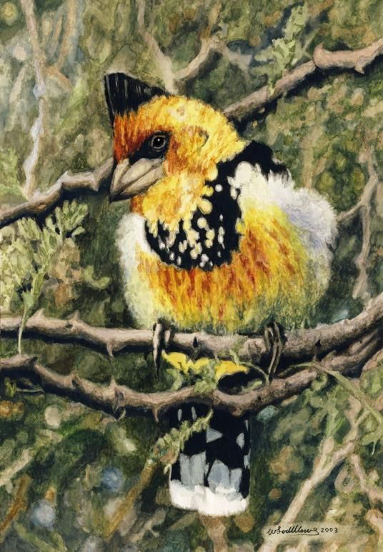 Crested Barbet by Willem