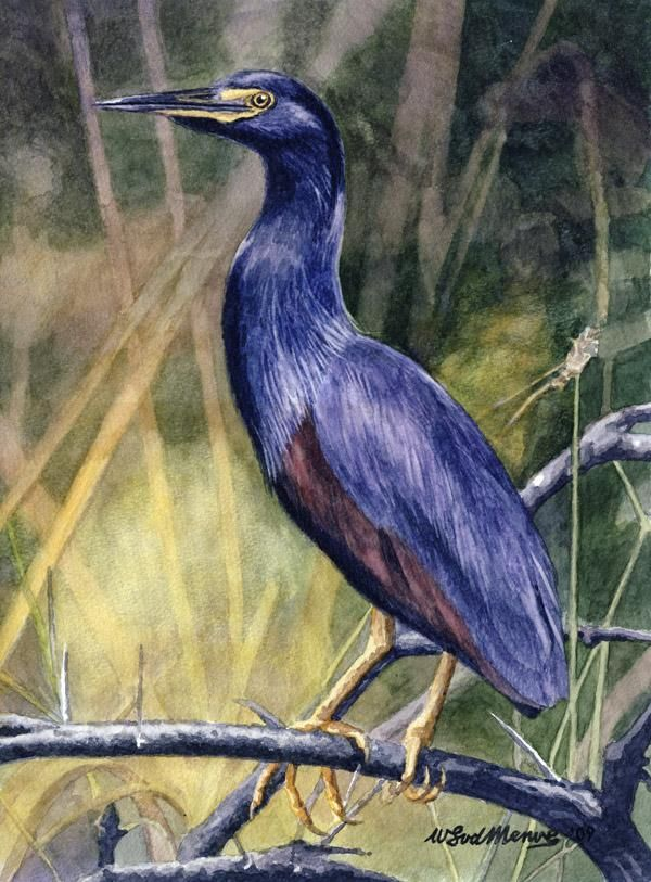 Rufousbellied Heron by Willem