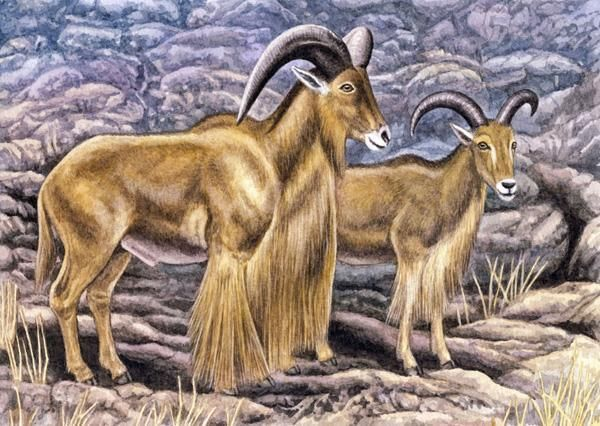 Barbary sheep by Willem