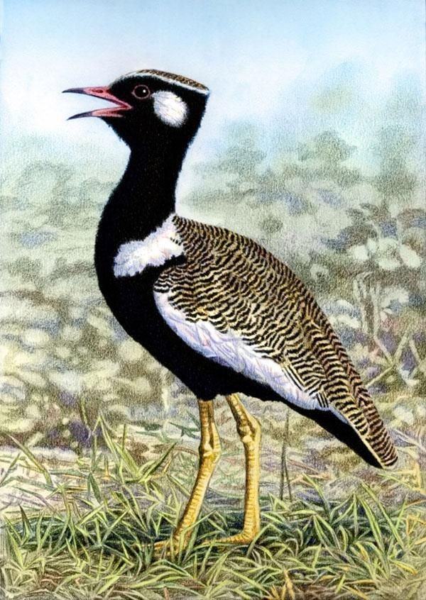 Male Korhaan by Willem