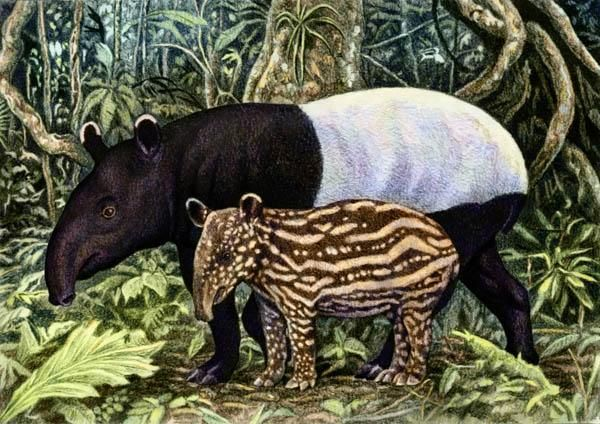 Tapir and baby by Willem