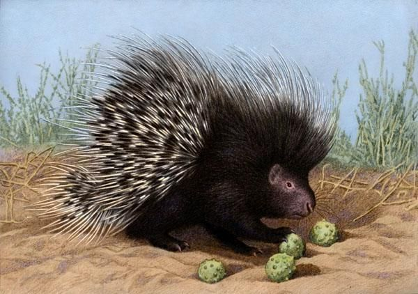 Cape Porcupine by Willem