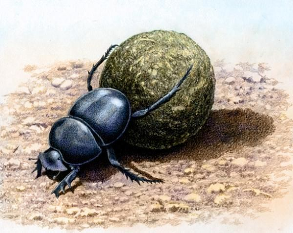 Flightless Dung Beetle by Willem