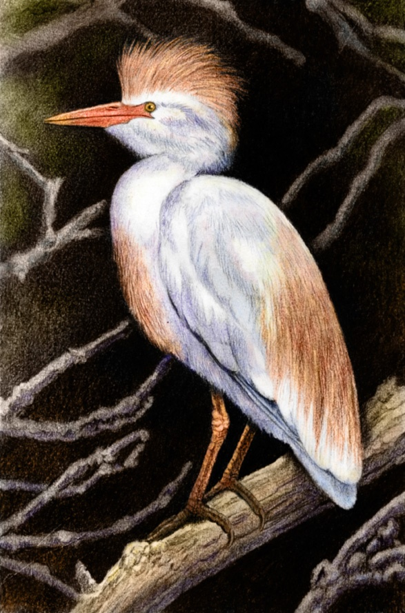 Cattle Egret by Willem