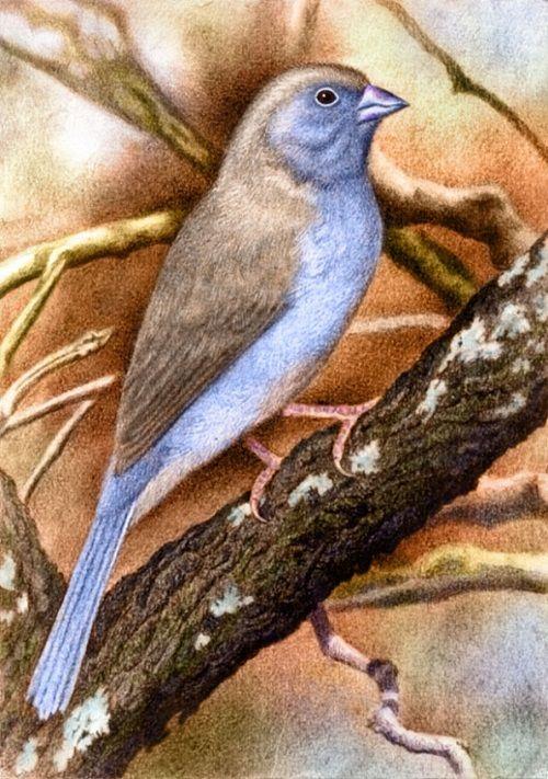 Blue Waxbill by Willem.