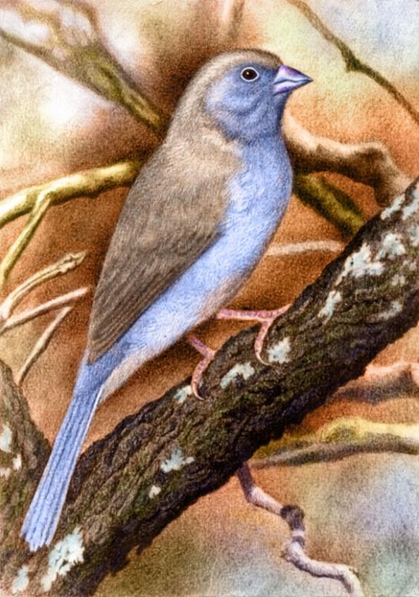 Blue Waxbill by Willem