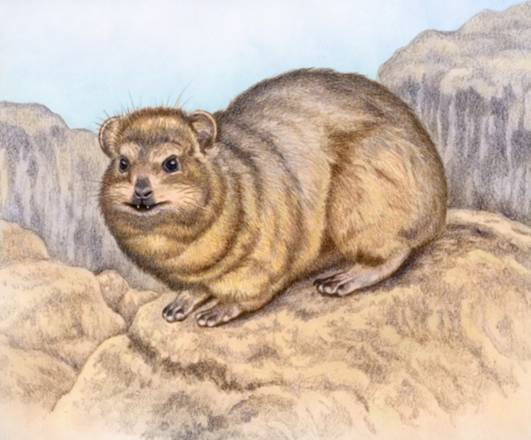 Rock Hyrax by Willem