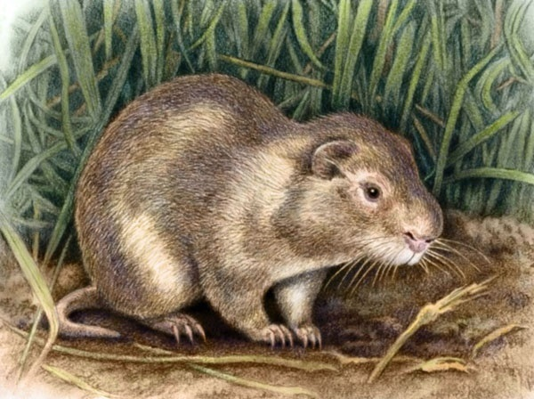 Greater Cane Rat by Willem