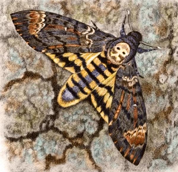 Death's Head Hawk Moth by Willem