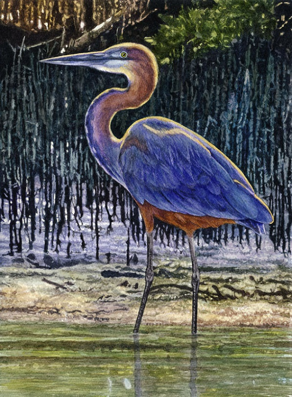 Goliath Heron  by Willem.