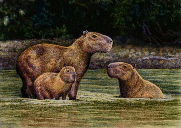 Capybaras  by Willem.