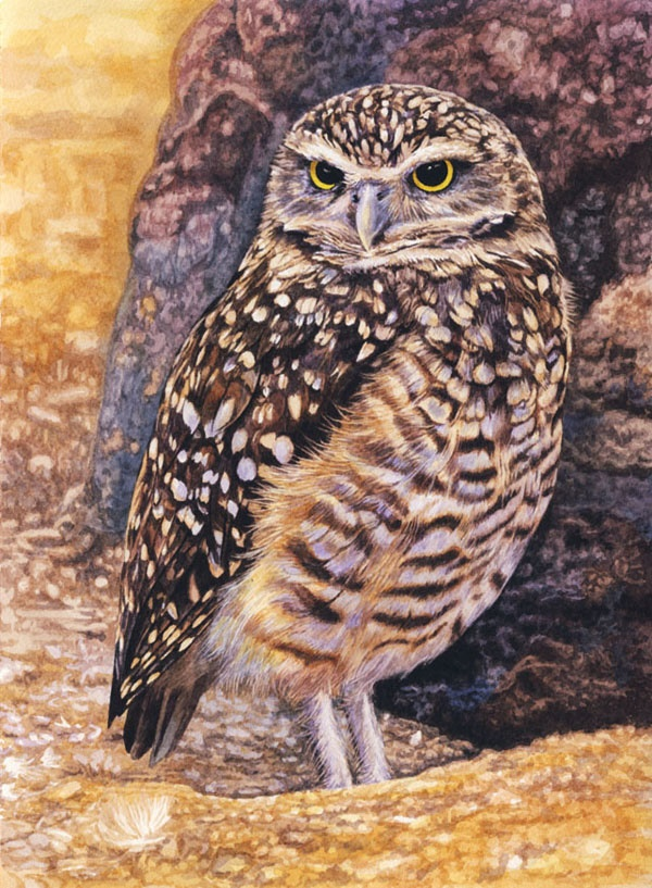 Burrowing Owl by Willem.
