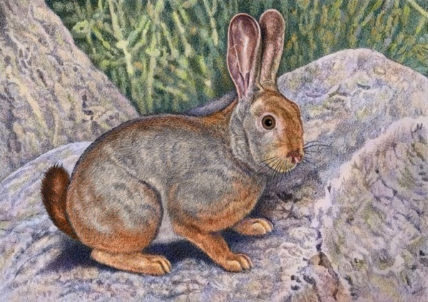 Smith's Red Rock Rabbit  by Willem.
