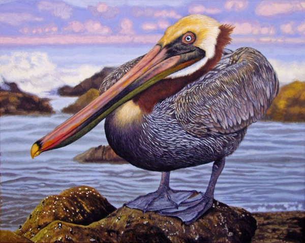Brown pelican by Willem.