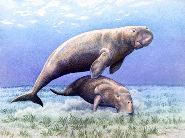 Dugongs by Willem.
