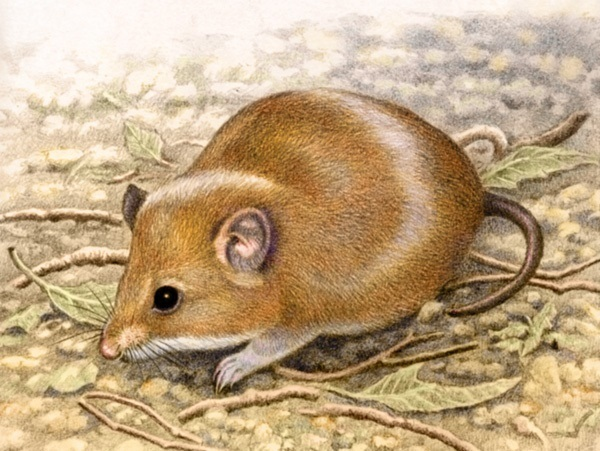 Fat Mouse by Willem.