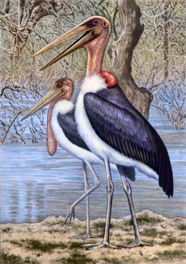 Maribou storks by Willem.
