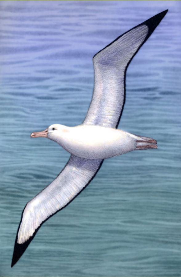 Wandering Albatross by Willem.