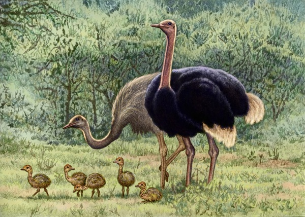 Ostriches by Willem.