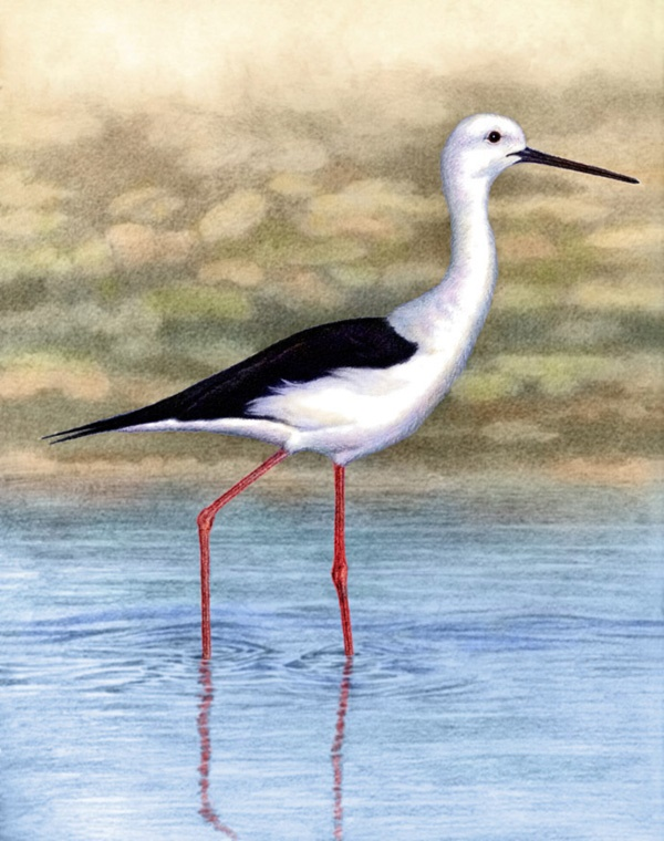 Black-Winged Stilt  by Willem.