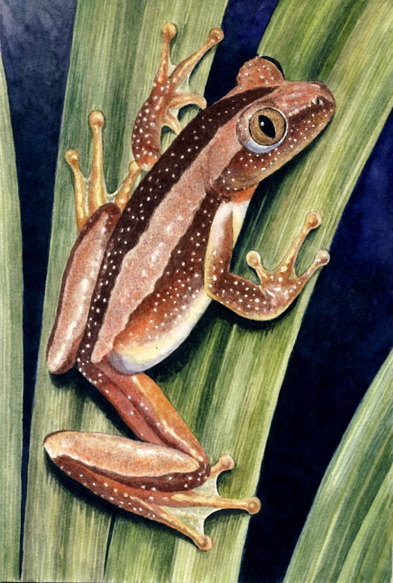 Greater  Leaf Folding Frog by Willem
