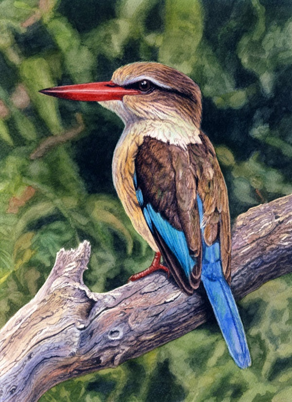 Brownhooded kingfisher by Willem