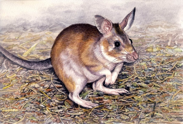 Malagasy Giant Jumping Rat by Willem
