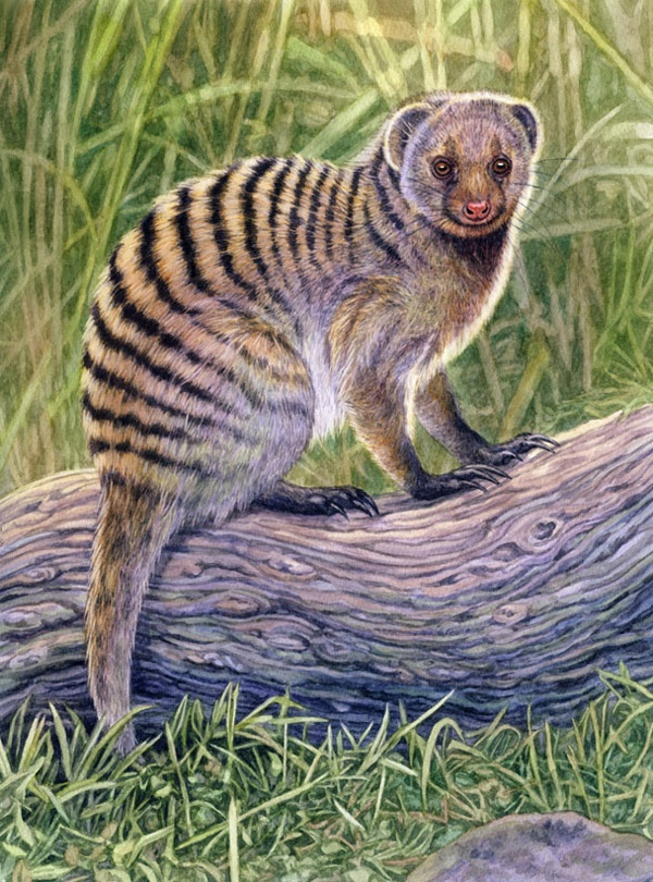 Banded mongoose by Willem.