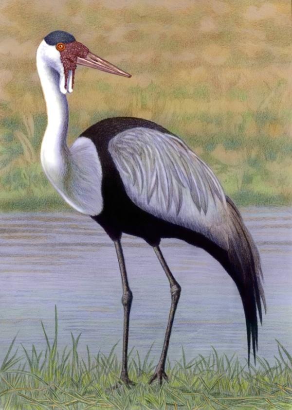 Wattled Crane  by Willem.