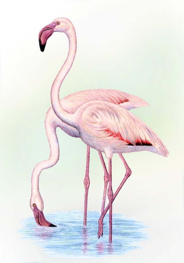 Greater Flamingo  by Willem.