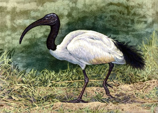 Sacred Ibis by Willem.