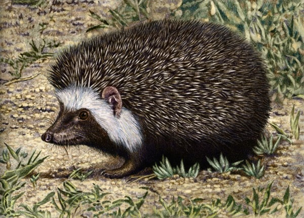 South African Hedgehog by Willem.
