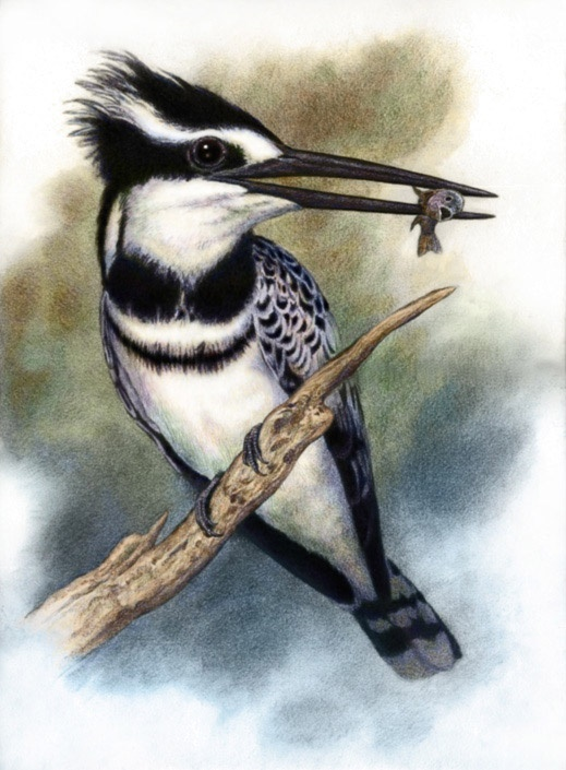 Pied Kingfisher by Willem.
