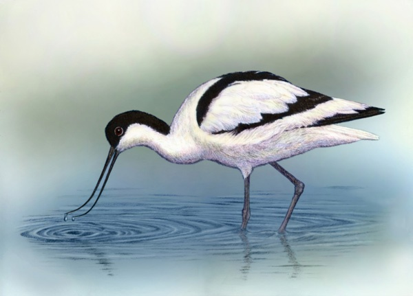 Avocet by Willem.