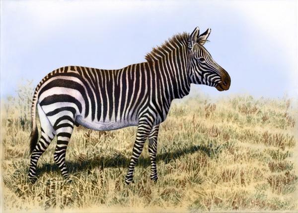 Mountain zebra by Willem.