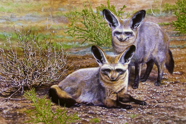 Bat-Eared Foxes by Willem.