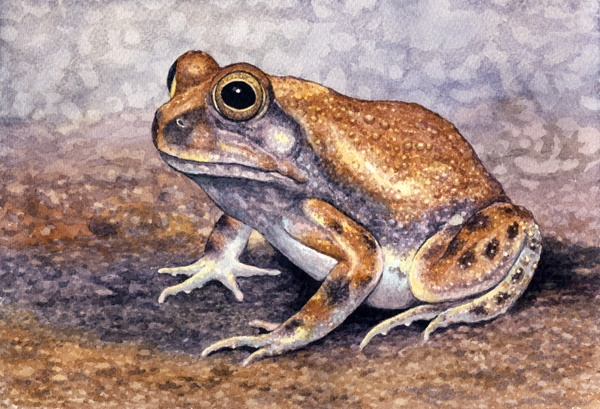 Russet-Backed Sand Frog by Willem.