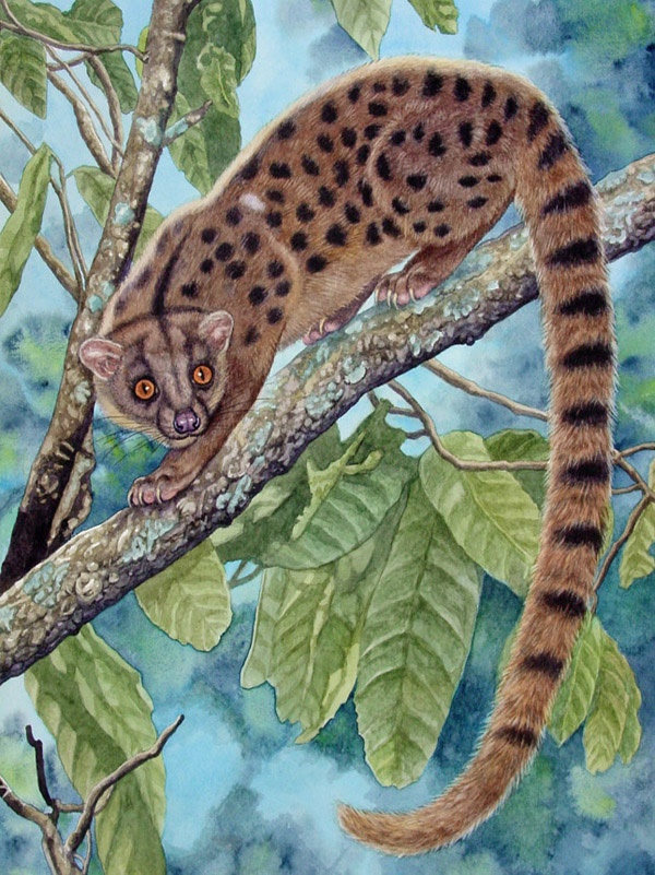 African Palm Civet by Willem.