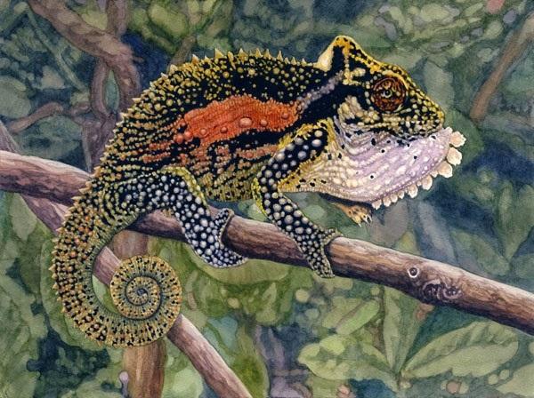 Natal Midlands Dwarf Chameleon by Willem.