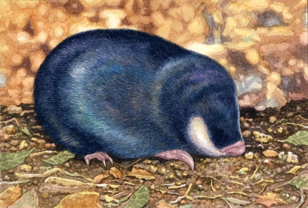 Cape Golden Mole by Willem.