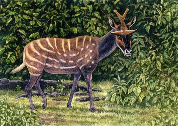 Ampelomeryx by Willem.