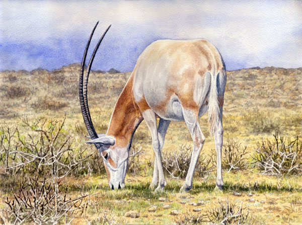 Scimitar Horned Oryx by Willem.