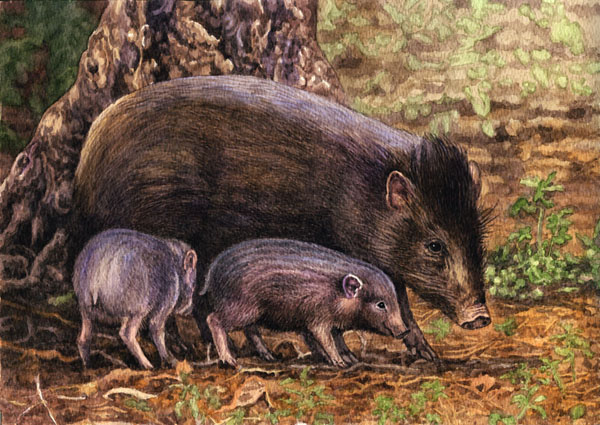 Pygmy hogs by Willem.